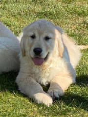 Goldens/LadieGary2044.jpg